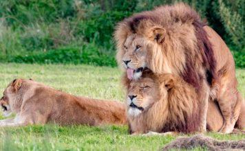 Amor entre leones machos gays en Botsuana